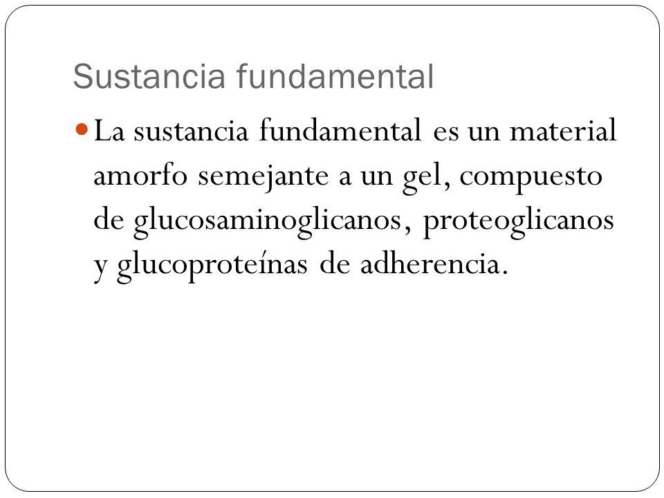 Sustancia fundamental La sustancia fundamental es un material amorfo semejante a un gel, compuesto de glucosaminoglicanos, proteoglicanos y glucoprote