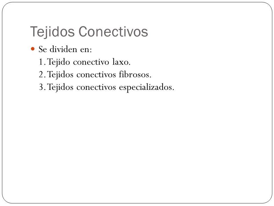 Tejidos Conectivos Se dividen en: 1. Tejido conectivo laxo. 2. Tejidos conectivos fibrosos. 3. Tejidos conectivos especializados.