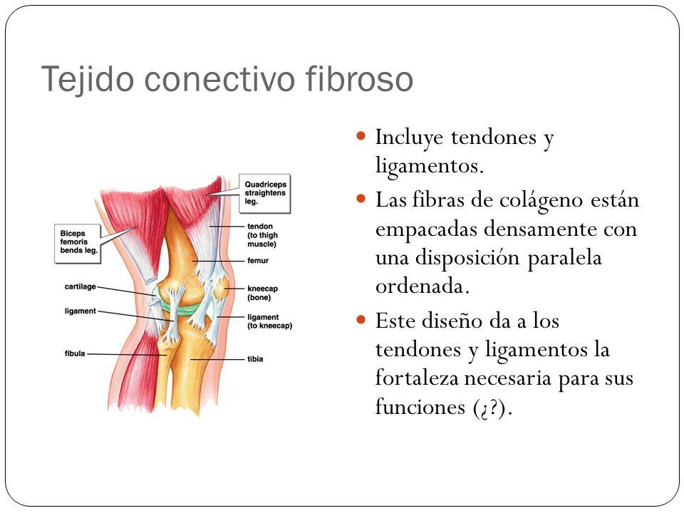 Tejido conectivo fibroso Incluye tendones y ligamentos. Las fibras de colágeno están empacadas densamente con una disposición paralela ordenada. Este