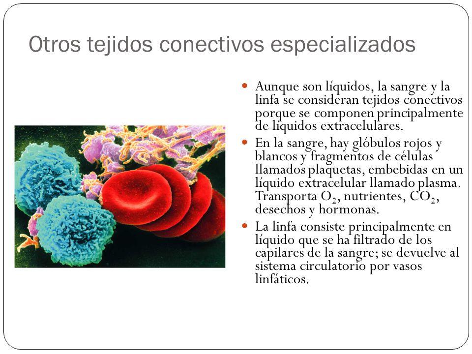 Otros tejidos conectivos especializados Aunque son líquidos, la sangre y la linfa se consideran tejidos conectivos porque se componen principalmente d