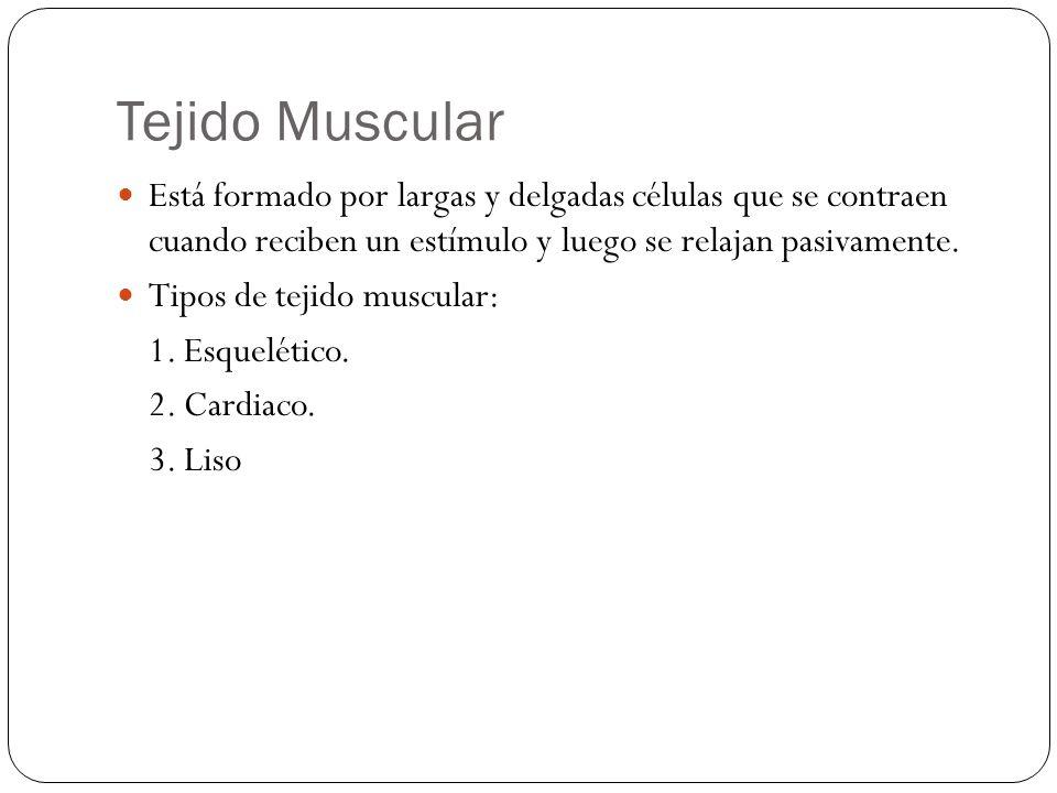 Tejido Muscular Está formado por largas y delgadas células que se contraen cuando reciben un estímulo y luego se relajan pasivamente. Tipos de tejido