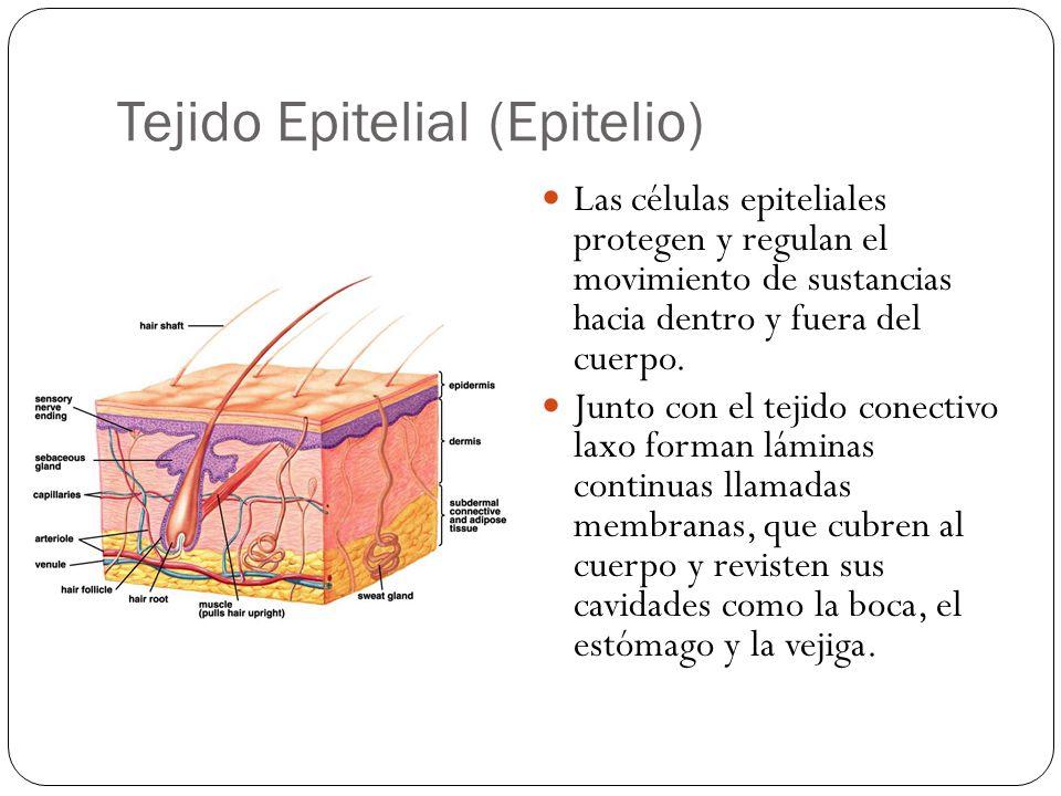 Tejido Epitelial (Epitelio) Las células epiteliales protegen y regulan el movimiento de sustancias hacia dentro y fuera del cuerpo. Junto con el tejid