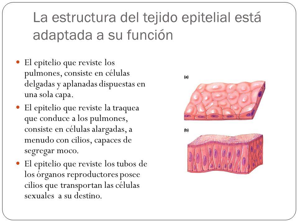 La estructura del tejido epitelial está adaptada a su función El epitelio que reviste los pulmones, consiste en células delgadas y aplanadas dispuesta
