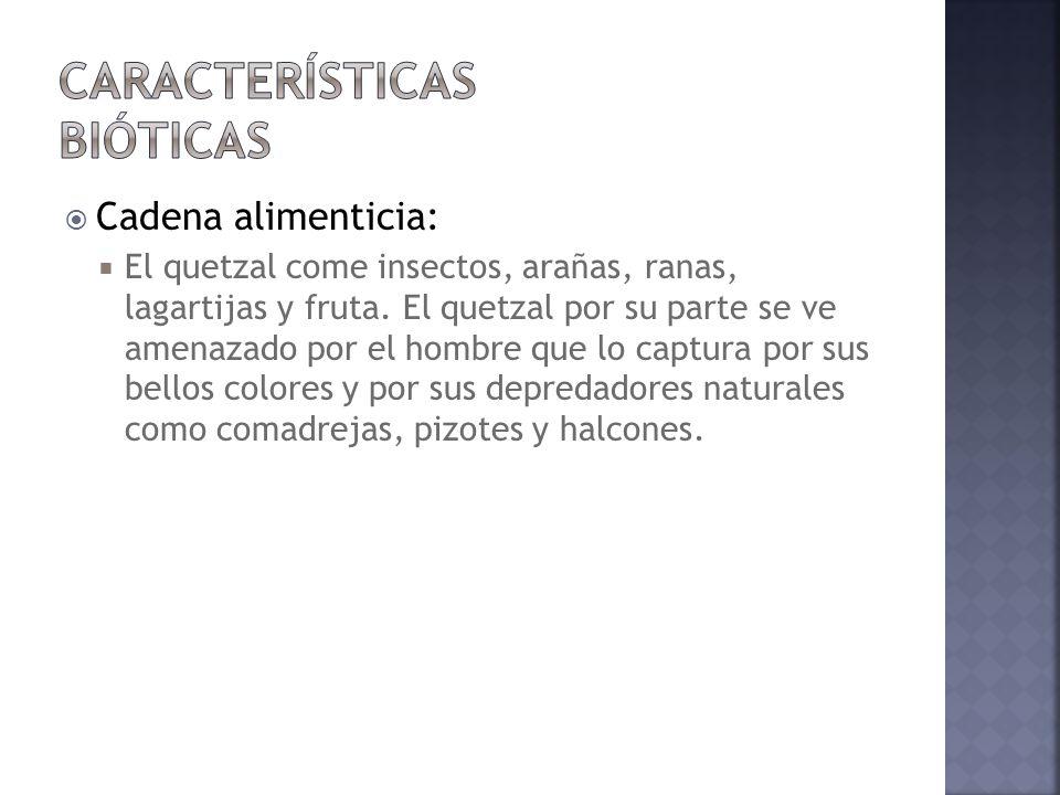 Cadena alimenticia: El quetzal come insectos, arañas, ranas, lagartijas y fruta. El quetzal por su parte se ve amenazado por el hombre que lo captura