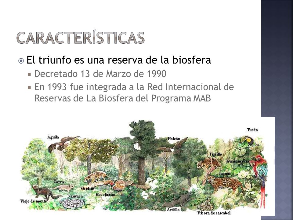 El triunfo es una reserva de la biosfera Decretado 13 de Marzo de 1990 En 1993 fue integrada a la Red Internacional de Reservas de La Biosfera del Pro