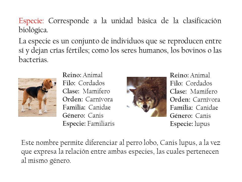 Especie: Corresponde a la unidad básica de la clasificación biológica. La especie es un conjunto de individuos que se reproducen entre sí y dejan cría
