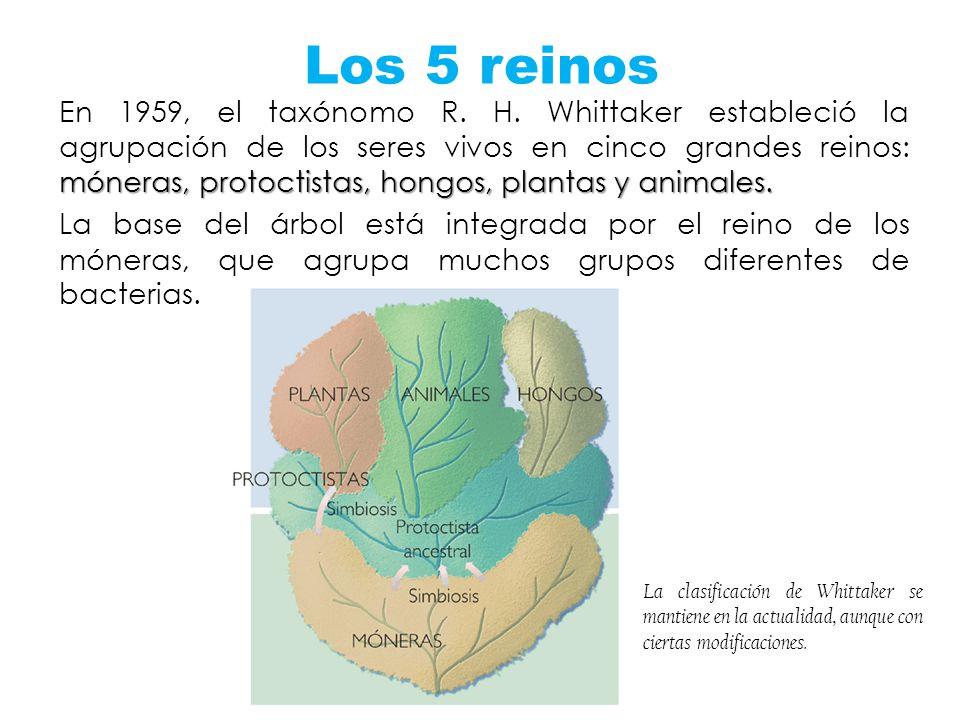 Los 5 reinos móneras, protoctistas, hongos, plantas y animales. En 1959, el taxónomo R. H. Whittaker estableció la agrupación de los seres vivos en ci