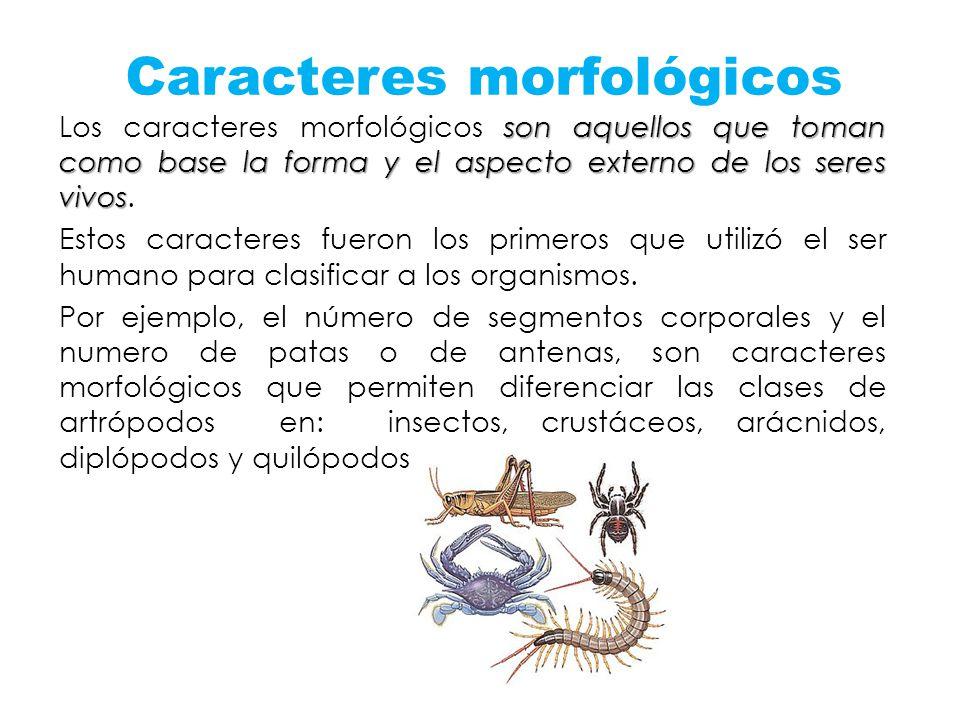 Caracteres morfológicos son aquellos que toman como base la forma y el aspecto externo de los seres vivos Los caracteres morfológicos son aquellos que
