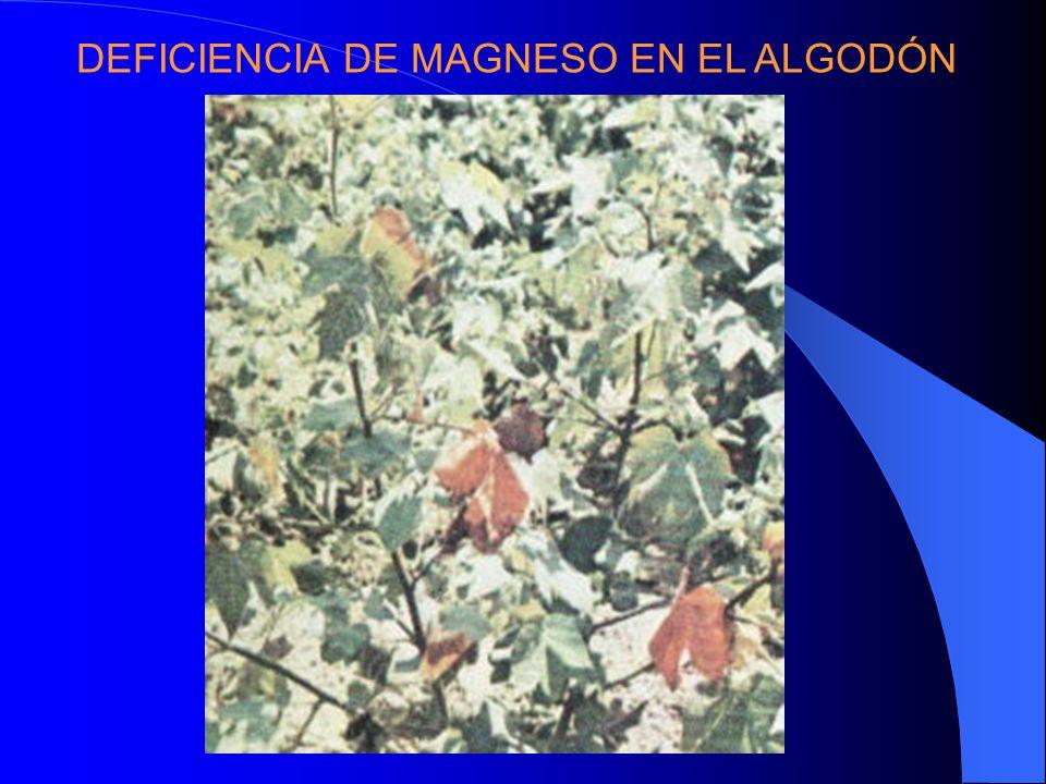 DEFICIENCIA DE MAGNESO EN EL ALGODÓN