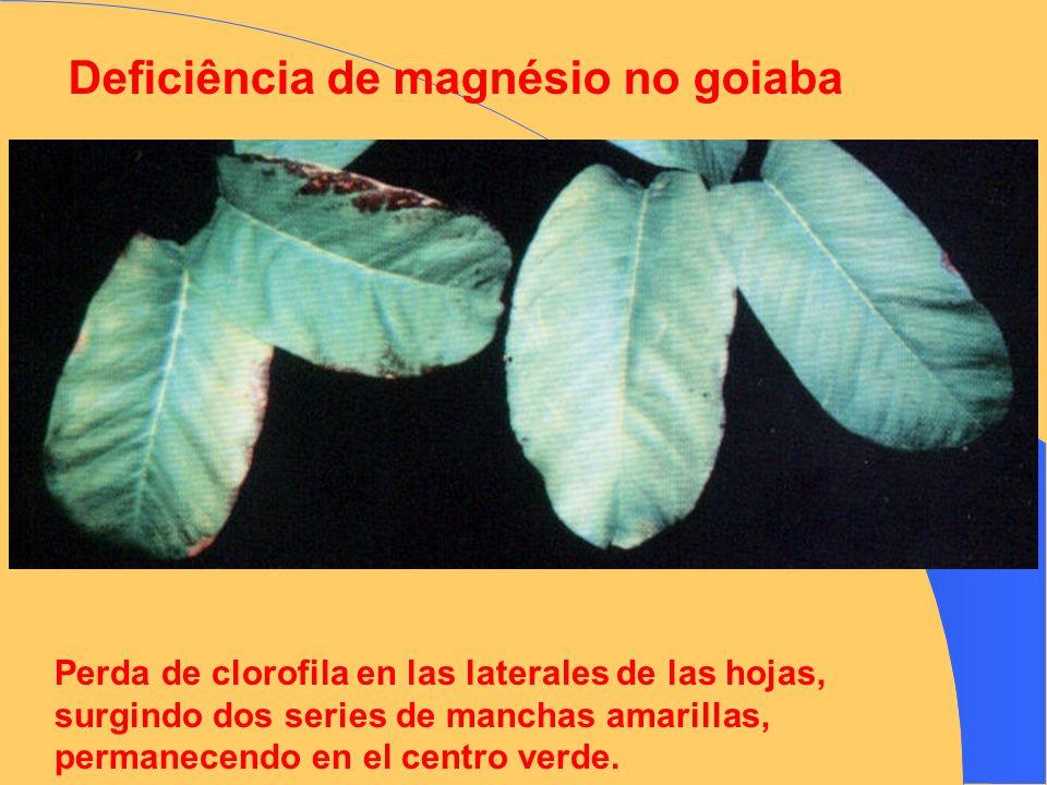 Deficiência de magnésio no goiaba Perda de clorofila en las laterales de las hojas, surgindo dos series de manchas amarillas, permanecendo en el centr