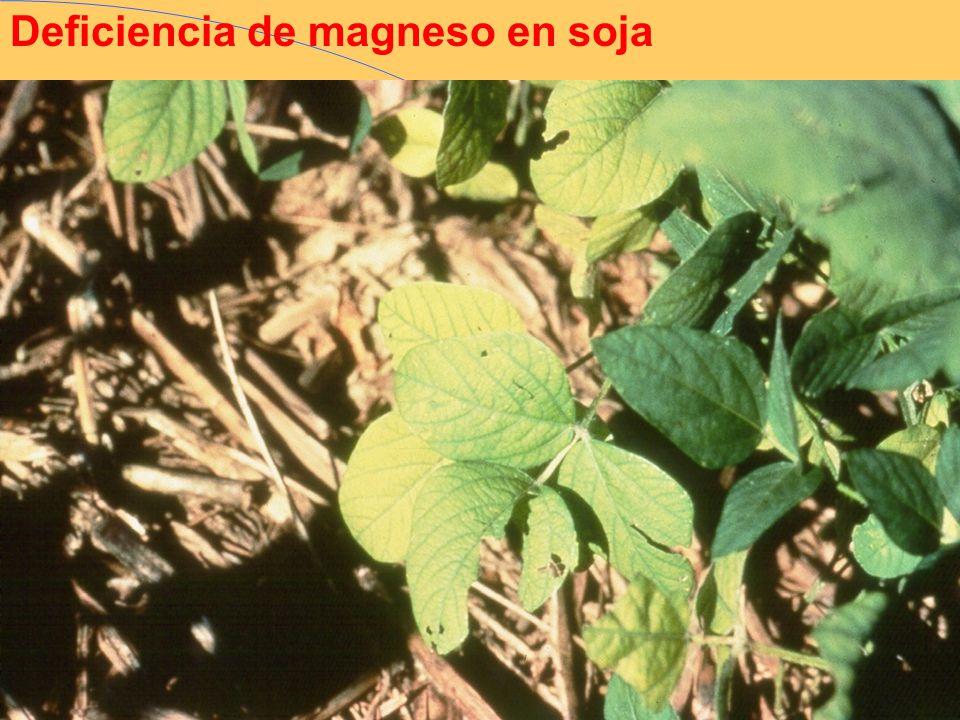 Deficiencia de magneso en soja