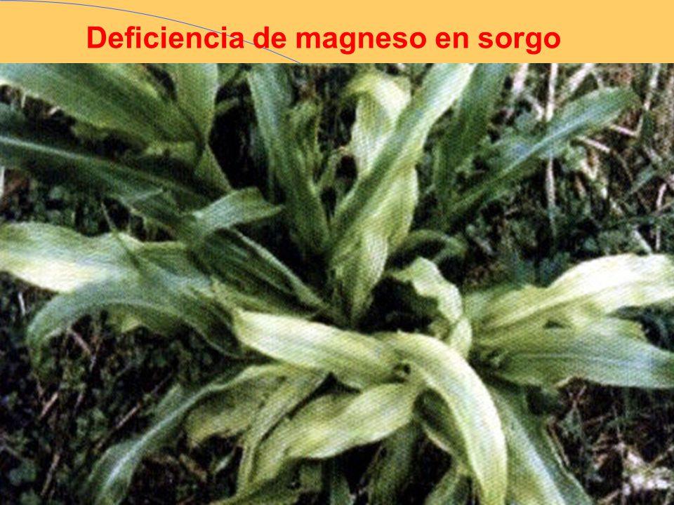 Deficiencia de magneso en sorgo
