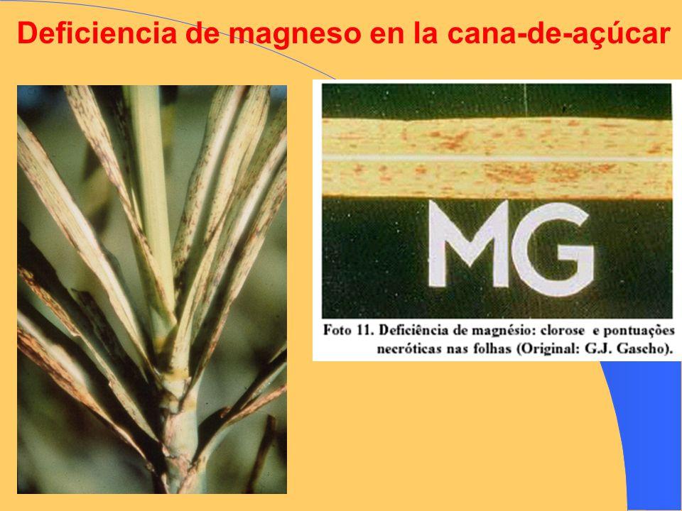 Deficiencia de magneso en la cana-de-açúcar