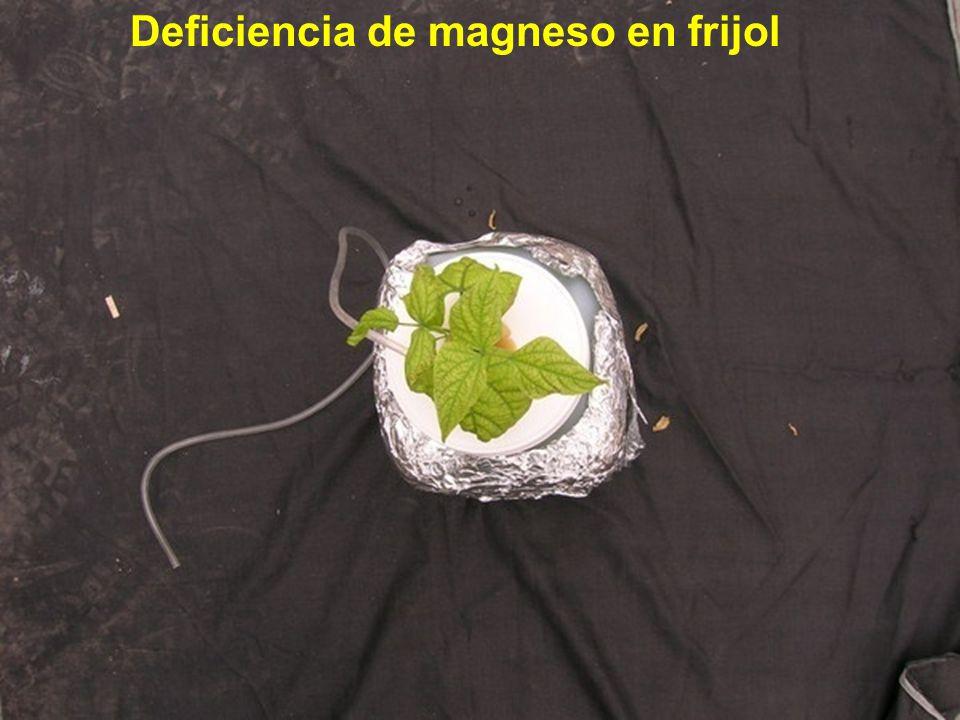 Deficiencia de magneso en frijol