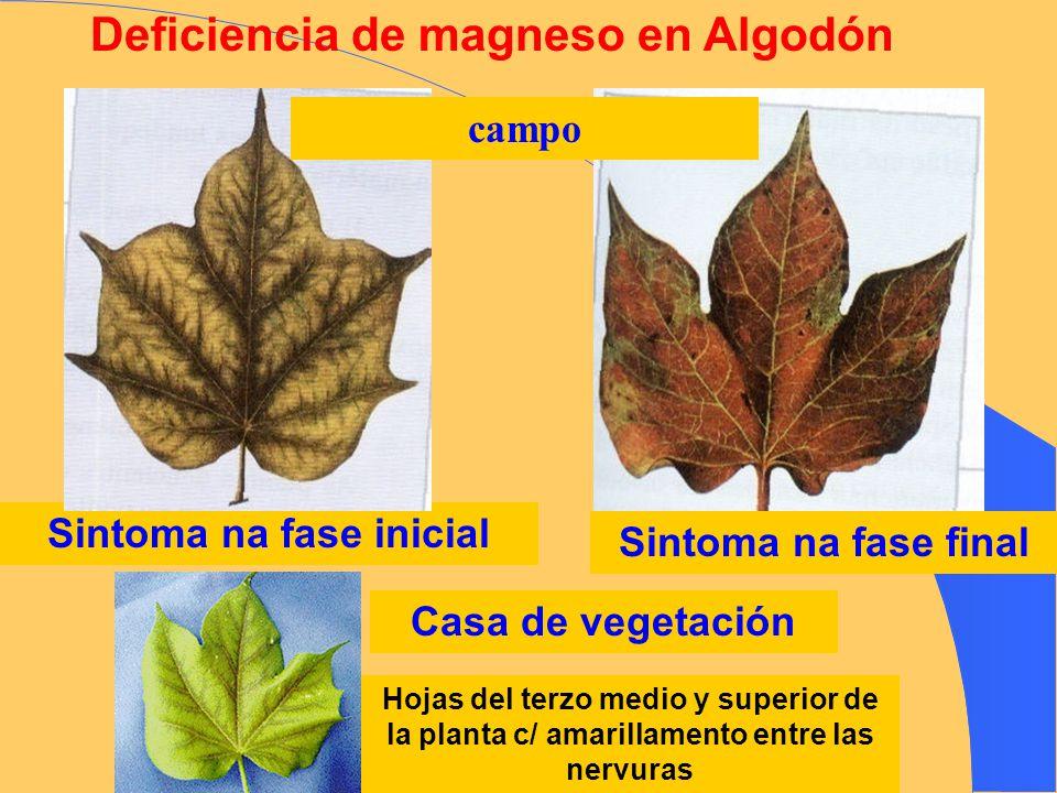 Deficiencia de magneso en Algodón Sintoma na fase inicial Sintoma na fase final Hojas del terzo medio y superior de la planta c/ amarillamento entre l