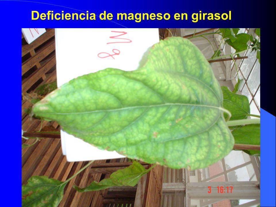 Deficiencia de magneso en girasol
