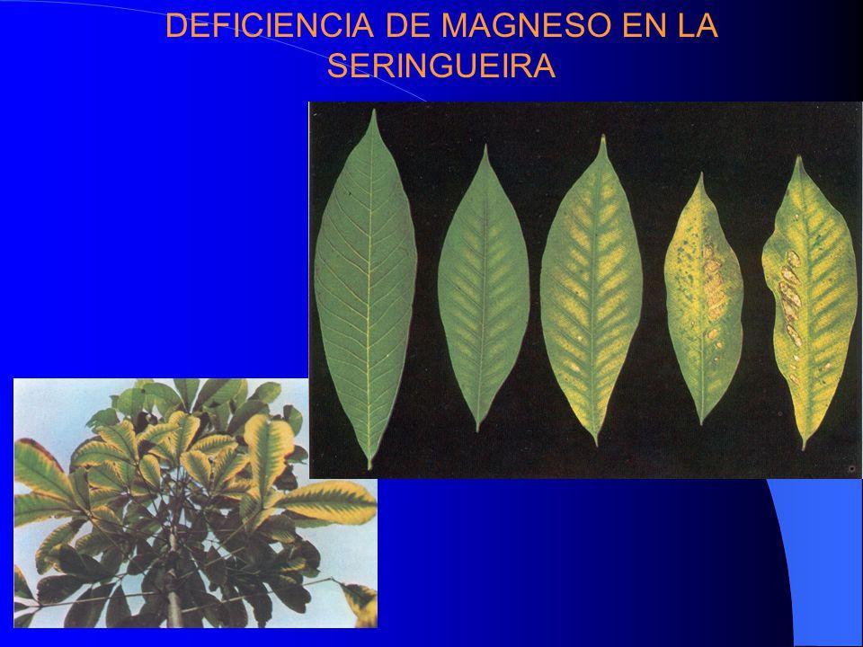 DEFICIENCIA DE MAGNESO EN LA SERINGUEIRA