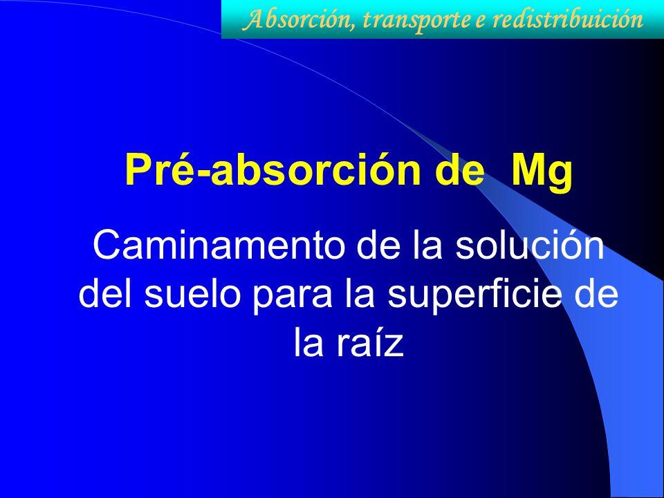Pré-absorción de Mg Caminamento de la solución del suelo para la superficie de la raíz Absorción, transporte e redistribuición