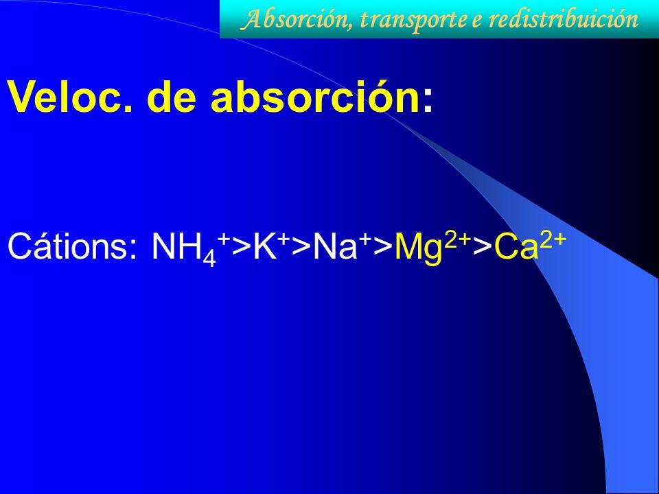 Veloc. de absorción: Cátions: NH 4 + >K + >Na + >Mg 2+ >Ca 2+ Absorción, transporte e redistribuición