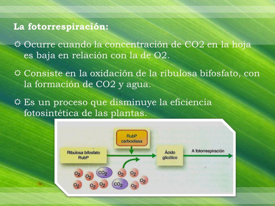 La fotorrespiración: Ocurre cuando la concentración de CO2 en la hoja es baja en relación con la de O2.