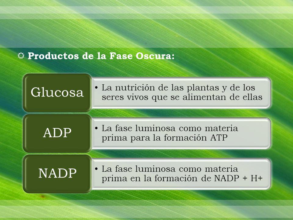Productos de la Fase Oscura: La nutrición de las plantas y de los seres vivos que se alimentan de ellas Glucosa La fase luminosa como materia prima para la formación ATP ADP La fase luminosa como materia prima en la formación de NADP + H+ NADP
