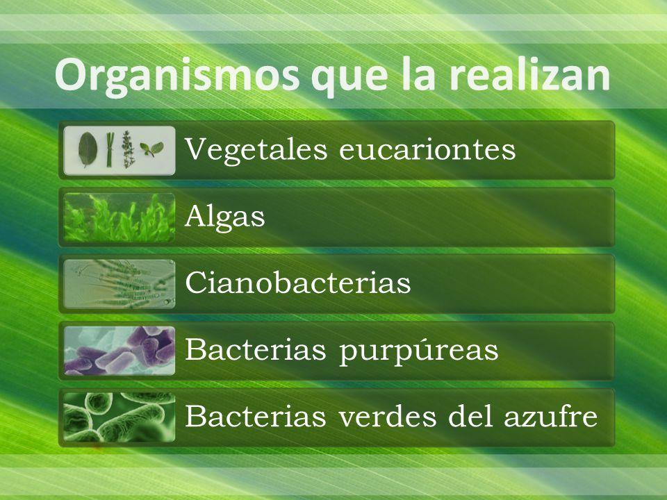 Son organelos, los cuales se encuentran en las células de los tejidos fotosintéticos de las plantas, estos varían dependiendo de la especie, el tejido y del hábitat del vegetal Tienen una longitud entre 2 y 6 µ, tienen forma de balón de futbol americano y están rodeados por una doble membrana