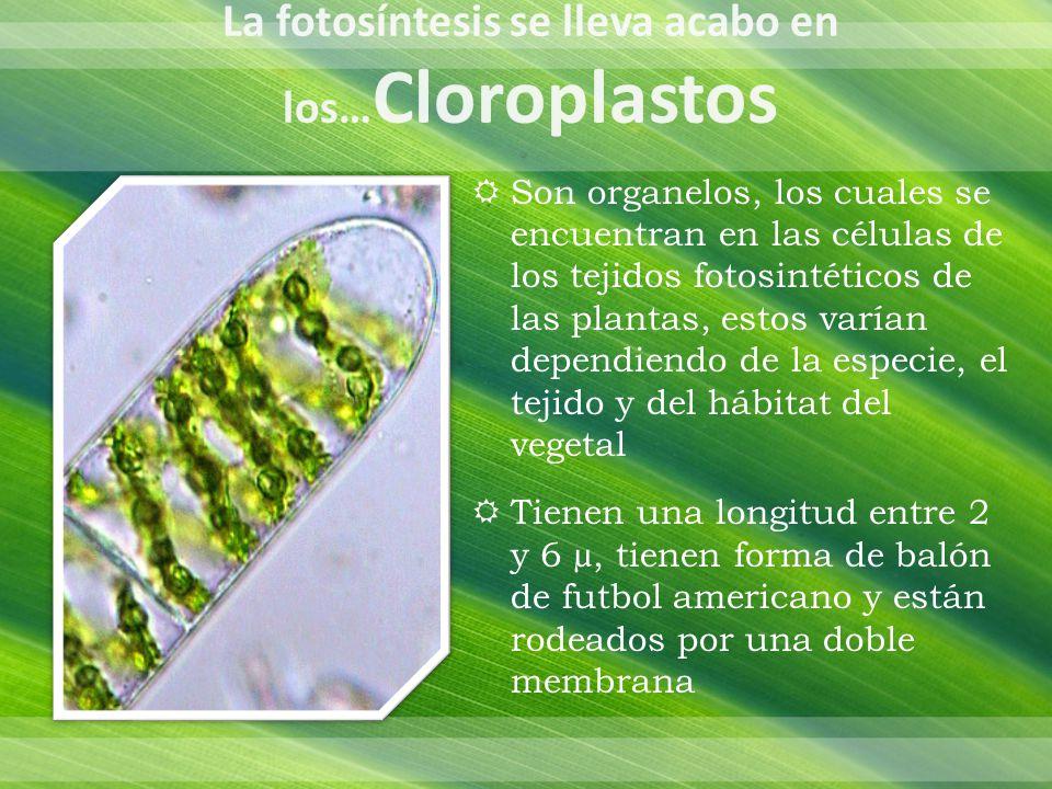 El cloroplasto se distingue en 2 regiones: Externa: constituida por una doble membrana Interna: formada por una matriz liquida llama estroma El estroma contiene un sistema interno de membranas donde se localizan los tilacoides, grana e intergrana, los espacios que presentan estas dos ultimas se le conoce como lumen.