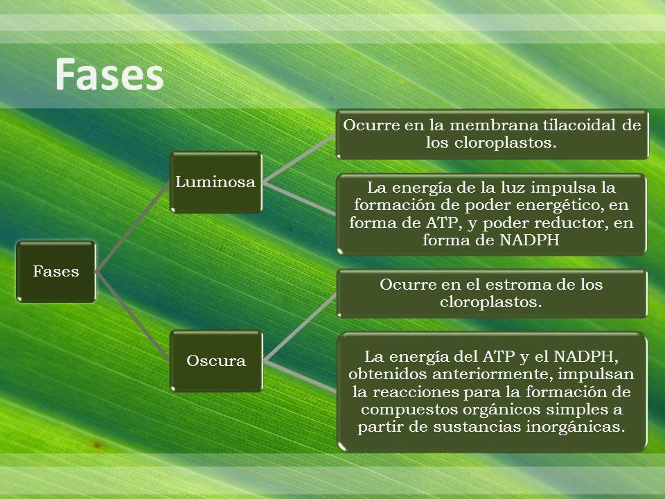 FasesLuminosa Ocurre en la membrana tilacoidal de los cloroplastos.