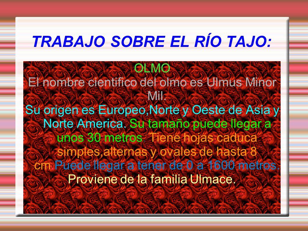 TRABAJO SOBRE EL RÍO TAJO: OLMO El nombre cientifico del olmo es Ulmus Minor Mil. Su origen es Europeo,Norte y Oeste de Asia y Norte America. Su tamañ