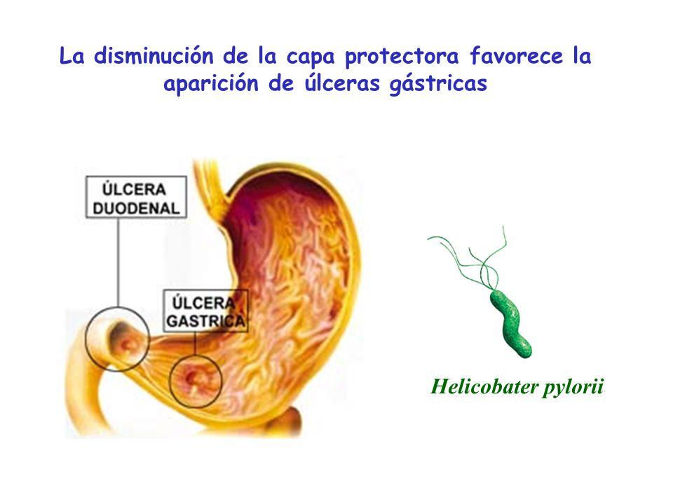 Helicobater pylorii La disminución de la capa protectora favorece la aparición de úlceras gástricas