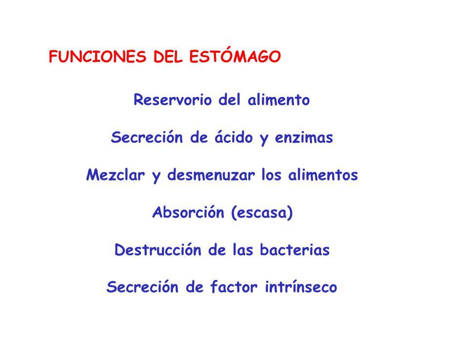 FUNCIONES DEL ESTÓMAGO Reservorio del alimento Secreción de ácido y enzimas Mezclar y desmenuzar los alimentos Absorción (escasa) Destrucción de las b