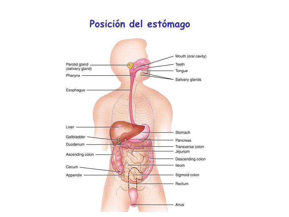 mucosidad HCO 3 - HCl La mucosa gástrica está cubierta por una capa protectora Los inhibidores de las prostaglandinas reducen la capa protectora