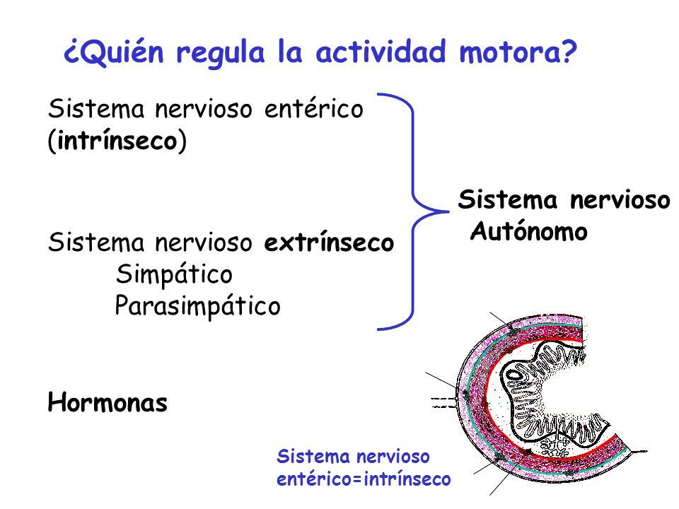 Sistema nervioso extrínseco Simpático Parasimpático Sistema nervioso Autónomo Hormonas ¿Quién regula la actividad motora? Sistema nervioso entérico (i