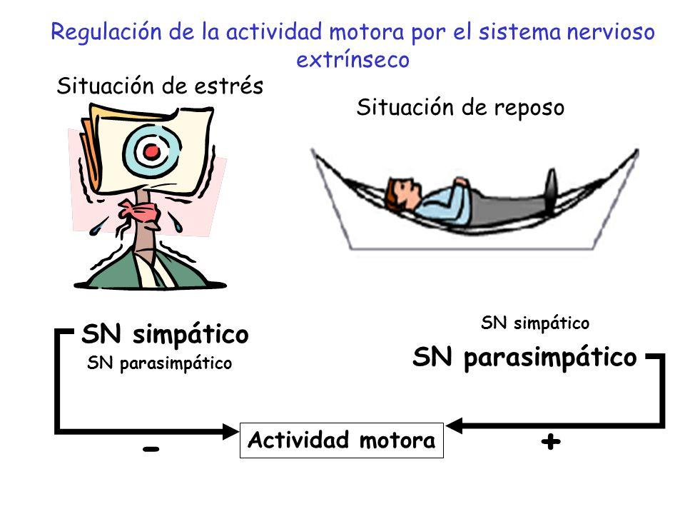 SN simpático SN parasimpático SN simpático SN parasimpático Actividad motora - + Regulación de la actividad motora por el sistema nervioso extrínseco