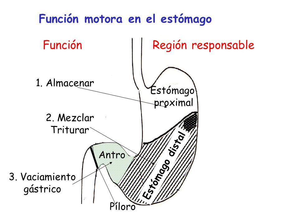 Función motora en el estómago Región responsable Antro Estómago distal Función 1. Almacenar 2. Mezclar Triturar 3. Vaciamiento gástrico Estómago proxi