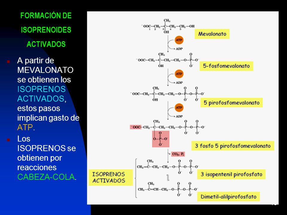 10 FORMACIÓN DE ISOPRENOIDES ACTIVADOS A partir de MEVALONATO se obtienen los ISOPRENOS ACTIVADOS, estos pasos implican gasto de ATP.