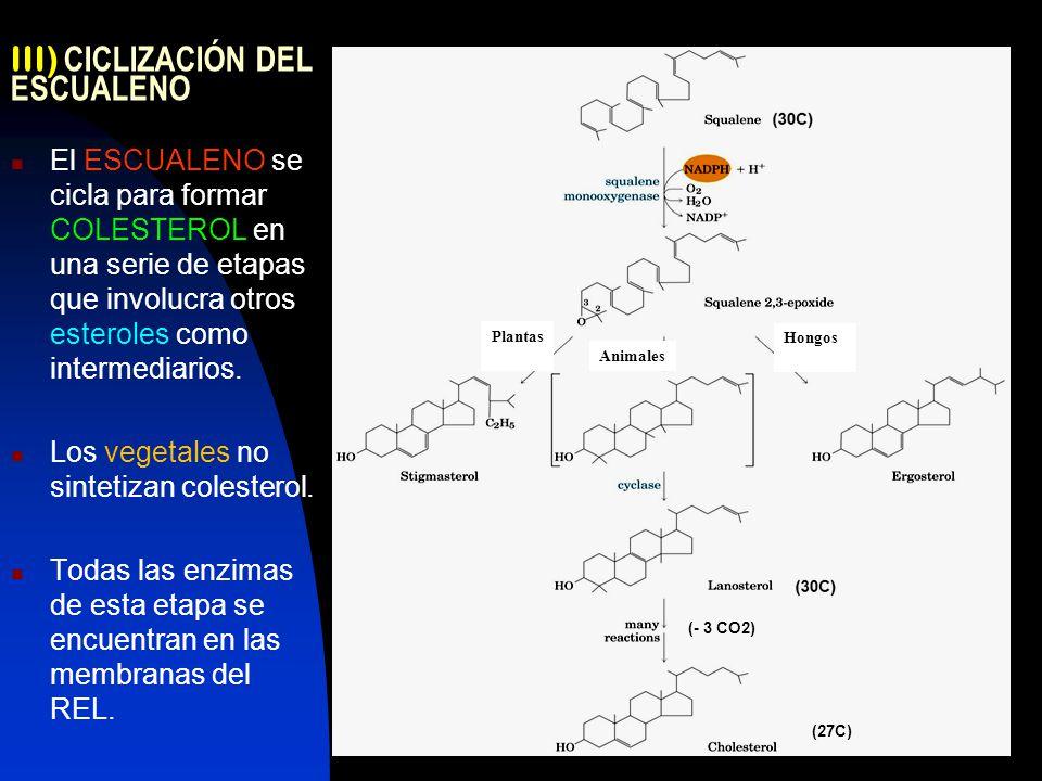 14 III) CICLIZACIÓN DEL ESCUALENO El ESCUALENO se cicla para formar COLESTEROL en una serie de etapas que involucra otros esteroles como intermediarios.