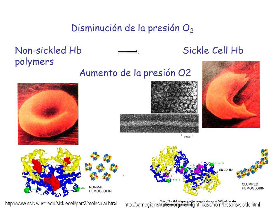 Disminución de la presión O 2 Non-sickled Hb Sickle Cell Hb polymers Aumento de la presión O2 http://carnegieinstitution.org/first_light_case/horn/les