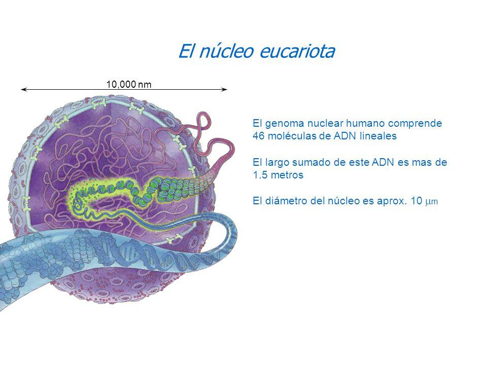 El genoma nuclear humano comprende 46 moléculas de ADN lineales El largo sumado de este ADN es mas de 1.5 metros El diámetro del núcleo es aprox. 10 m