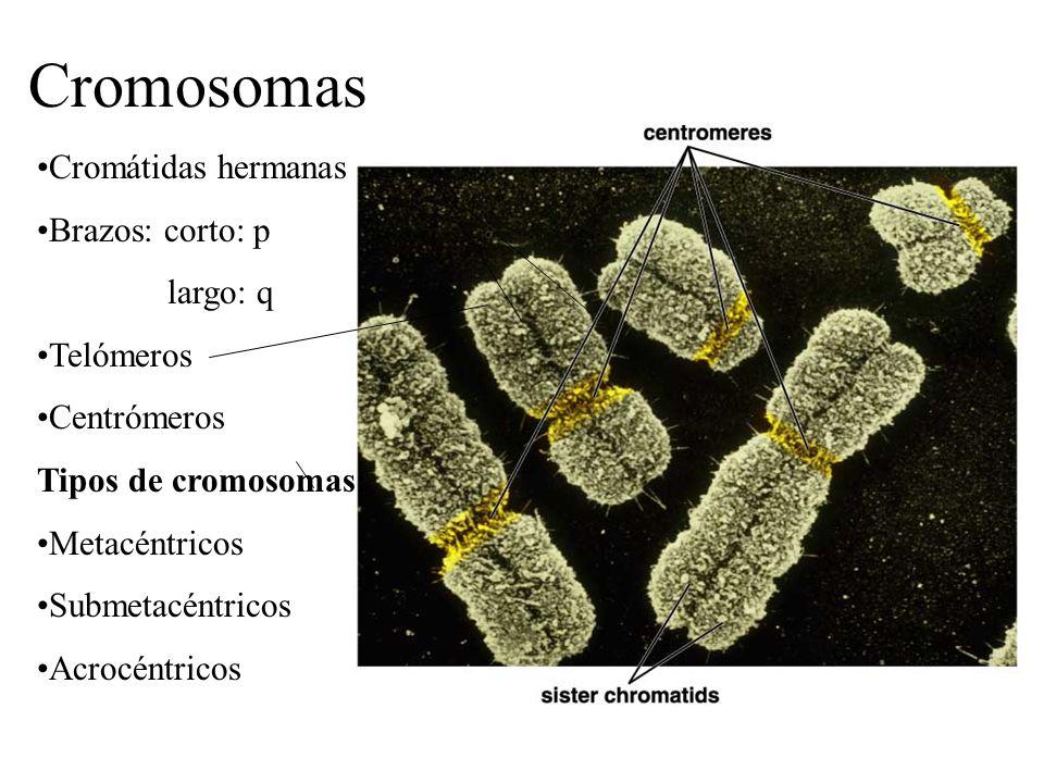 Cromátidas hermanas Brazos: corto: p largo: q Telómeros Centrómeros Tipos de cromosomas: Metacéntricos Submetacéntricos Acrocéntricos