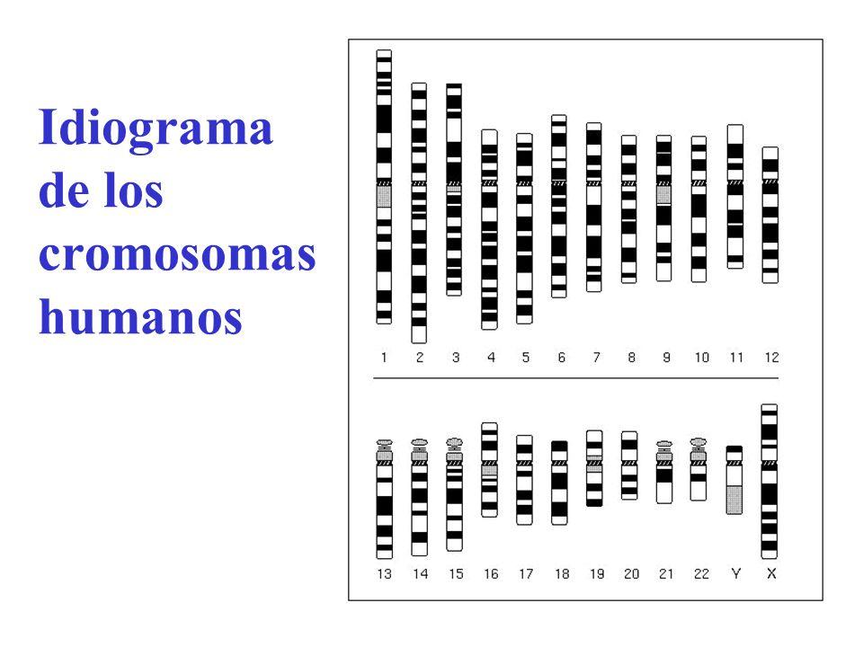Idiograma de los cromosomas humanos