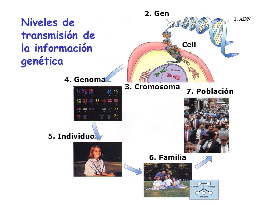 1. ADN 2. Gen 4. Genoma 5. Individuo 3. Cromosoma 7. Población 6. Familia Cell Niveles de transmisión de la información genética