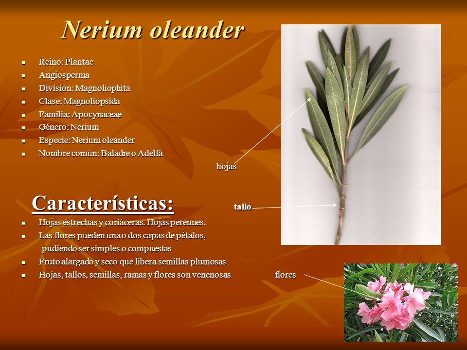 Nerium oleander Reino: Plantae Reino: Plantae Angiosperma Angiosperma División: Magnoliophita División: Magnoliophita Clase: Magnoliopsida Clase: Magn