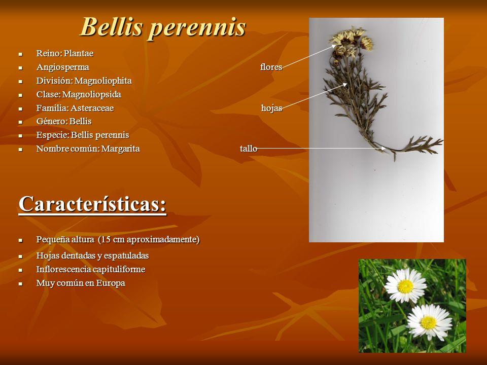Bellis perennis Reino: Plantae Reino: Plantae Angiosperma flores Angiosperma flores División: Magnoliophita División: Magnoliophita Clase: Magnoliopsi