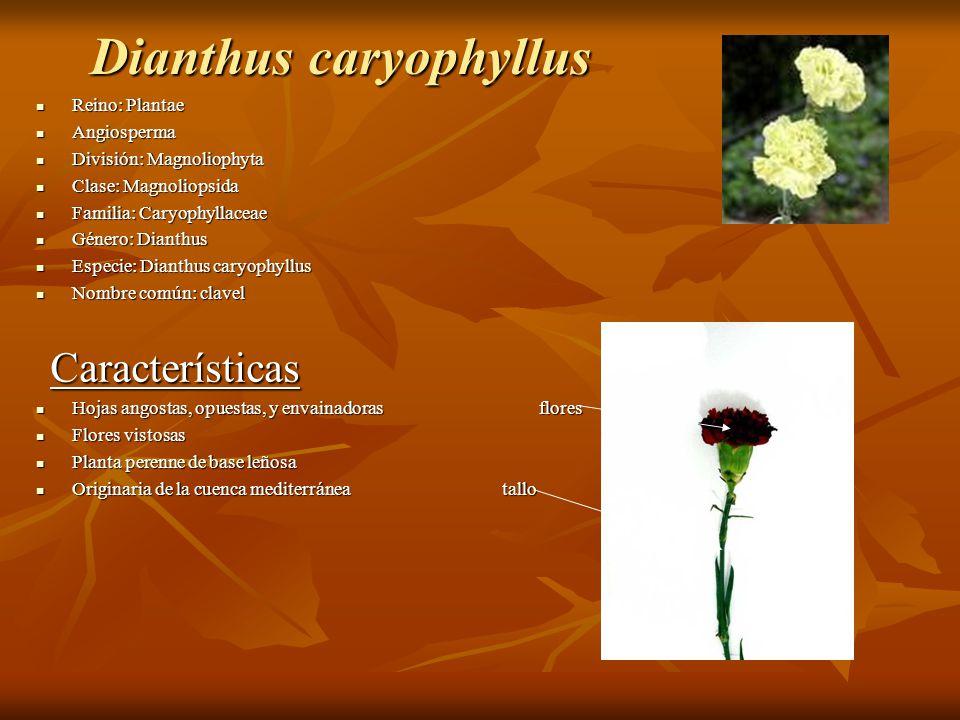 Dianthus caryophyllus Reino: Plantae Reino: Plantae Angiosperma Angiosperma División: Magnoliophyta División: Magnoliophyta Clase: Magnoliopsida Clase