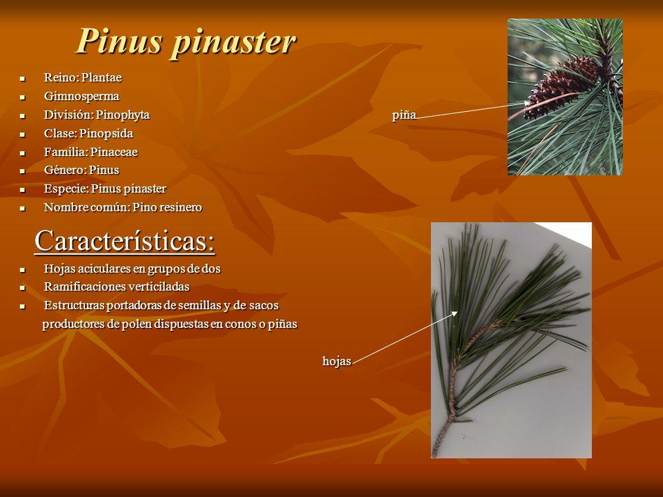 Pinus pinaster Reino: Plantae Reino: Plantae Gimnosperma Gimnosperma División: Pinophyta piña División: Pinophyta piña Clase: Pinopsida Clase: Pinopsi