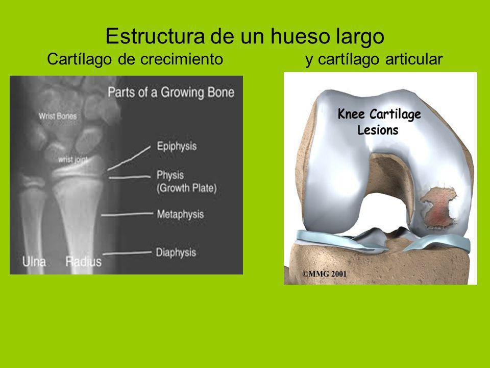 Estructura de un hueso largo Cartílago de crecimiento y cartílago articular