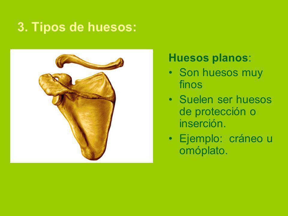 3. Tipos de huesos: Huesos planos: Son huesos muy finos Suelen ser huesos de protección o inserción. Ejemplo: cráneo u omóplato.