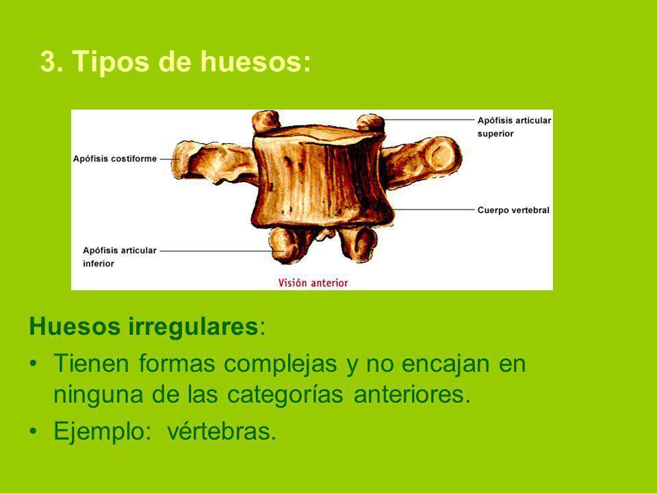 3. Tipos de huesos: Huesos irregulares: Tienen formas complejas y no encajan en ninguna de las categorías anteriores. Ejemplo: vértebras.
