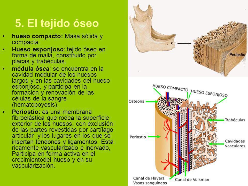 5.El tejido óseo hueso compacto: Masa sólida y compacta.